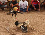 Balinese Chicken Fight