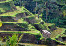 Ubud Rice Terraces<br/> One of our culture trips
